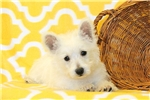 Picture of Biscuit / West Highland Terrier