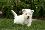 Picture of Whitaker / West Highland Terrier
