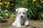 Picture of Lucas / West Highland Terrier