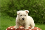 Picture of Roycie / West Highland Terrier
