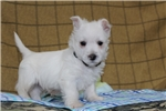 Picture of Mason / West Highland Terrier