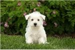 Picture of Windy / West Highland Terrier