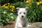 Picture of Lucy / West Highland Terrier