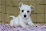 Picture of Misty / West Highland Terrier