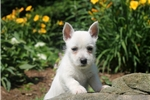 Picture of Leah / West Highland Terrier
