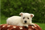 Picture of Rooster / West Highland Terrier
