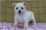 Picture of Melody / West Highland Terrier