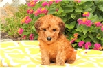 Picture of Dixie / Whoodle - Miniature