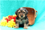 Picture of Davis / Yorkie-poo