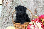 Picture of Teddy / Yorkie Poo