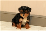 Picture of Abigail / Yorkiepoo
