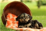 Picture of Ava / Yorkie-Poo
