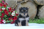 Picture of Pansy / Yorkiepoo
