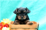 Picture of Drema / Yorkie-poo