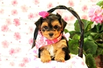 Picture of Becky / Yorkie-poo