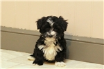 Picture of Ardy / Yorkiepoo