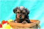 Picture of Darry / Yorkie-poo