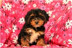 Picture of Aiken / Yorkiepoo
