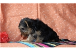 Picture of Virginia / Yorkie