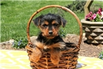 Picture of Austin / Yorkshire Terrier