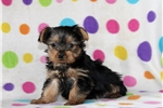 Picture of Nina / Yorkshire Terrier