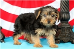 Picture of Franklin / Yorkshire Terrier