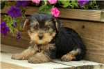 Picture of Nedra / Yorkshire Terrier