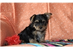Picture of Vincent / Yorkie