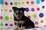 Picture of Noah / Yorkshire Terrier