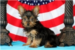 Picture of Fillmore / Yorkshire Terrier