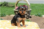 Picture of Ariel / Yorkshire Terrier