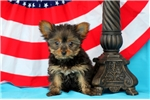 Picture of Franny / Yorkshire Terrier