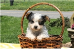 Picture of Aiden / Yorkshire Terrier
