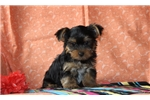 Picture of Victor / Yorkie