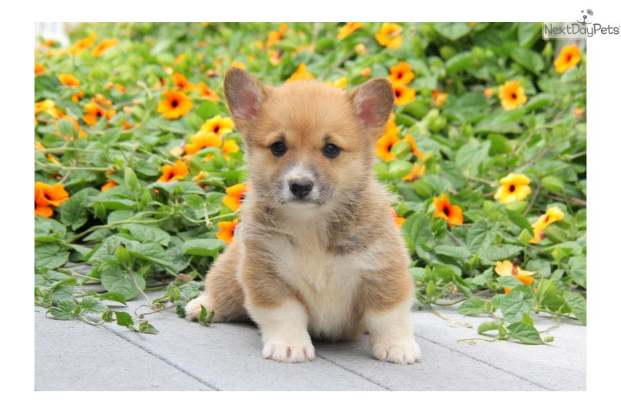 Cardigan Welsh Corgi Puppies For Sale Pa Lera Sweater