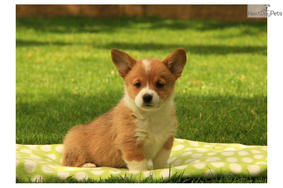 Dogs Corgi Adoption