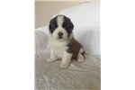 Tulip | Puppy at 5 weeks of age for sale