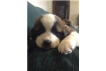 Lily | Puppy at 5 weeks of age for sale
