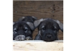 Picture of AKC Norwegian Elkhound, male puppy