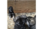 Picture of AKC Norwegian Elkhound, female puppy