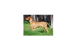 Picture of a Rhodesian Ridgeback Puppy