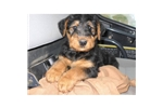 Picture of an Airedale Terrier Puppy