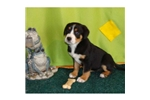 Picture of a Greater Swiss Mountain Dog Puppy