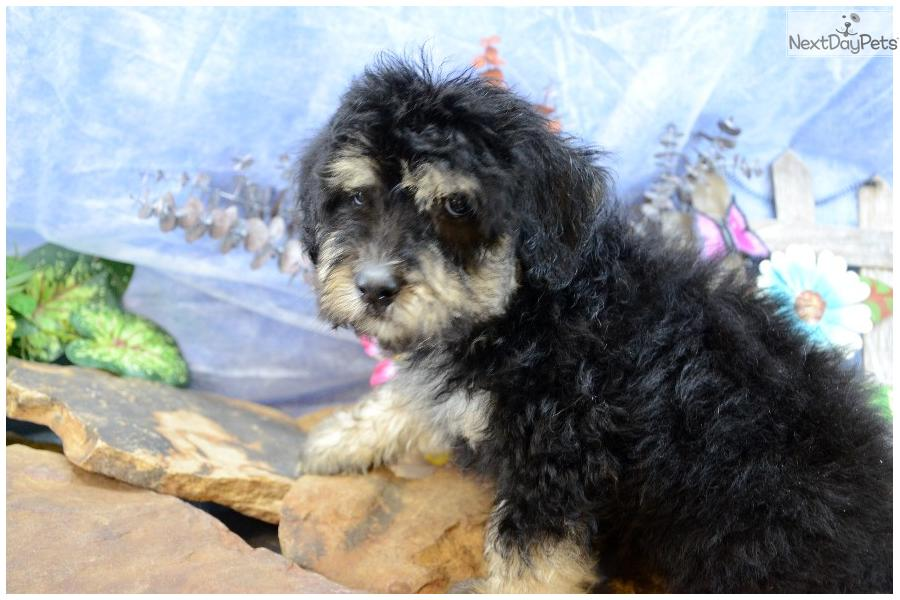 shepadoodle puppy for sale near southern illinois