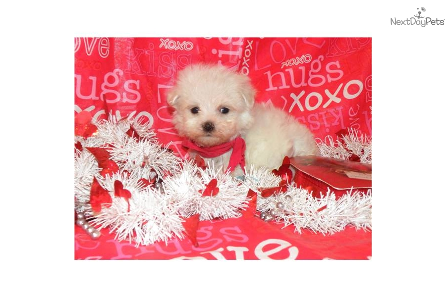 Meet Sunny A Cute Maltese Puppy For Sale For 1 895 Extra