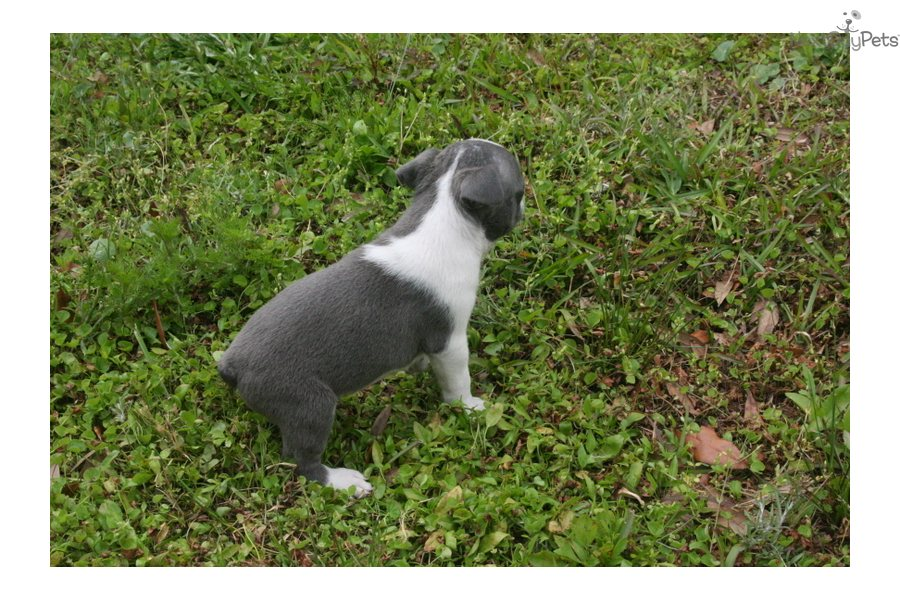 Names For Male Boston Terrier Dogs | Dog Breeds Picture