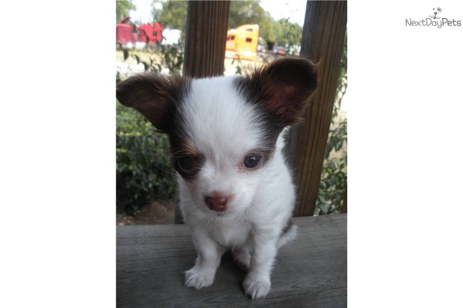 Chihuahua for sale for $350, near Northwest GA, Georgia ...