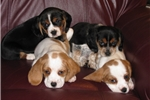 Picture of Adorable Designer Beaglier puppies for sale
