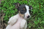 Picture of Tanner~ACA Reg.Rat Terrier Male
