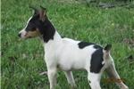 Picture of Catherine~ACA Reg.Rat Terrier Female Pup